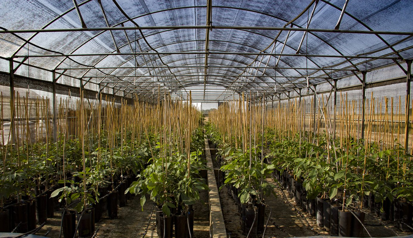 vivero de plantas de nogal montijo badajoz extremadura España