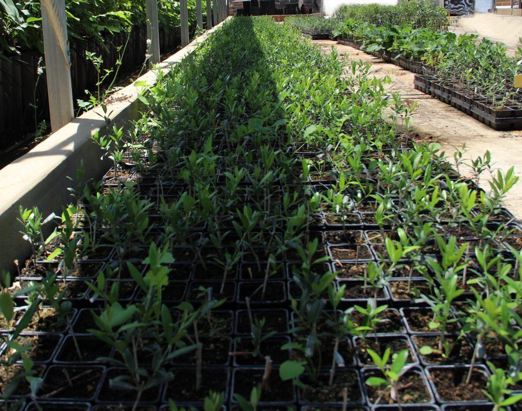 plantas de olivo