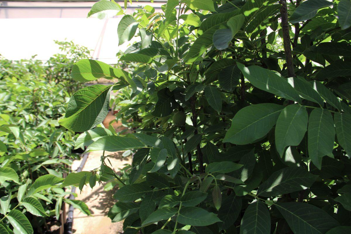 vivero plantas de nogal