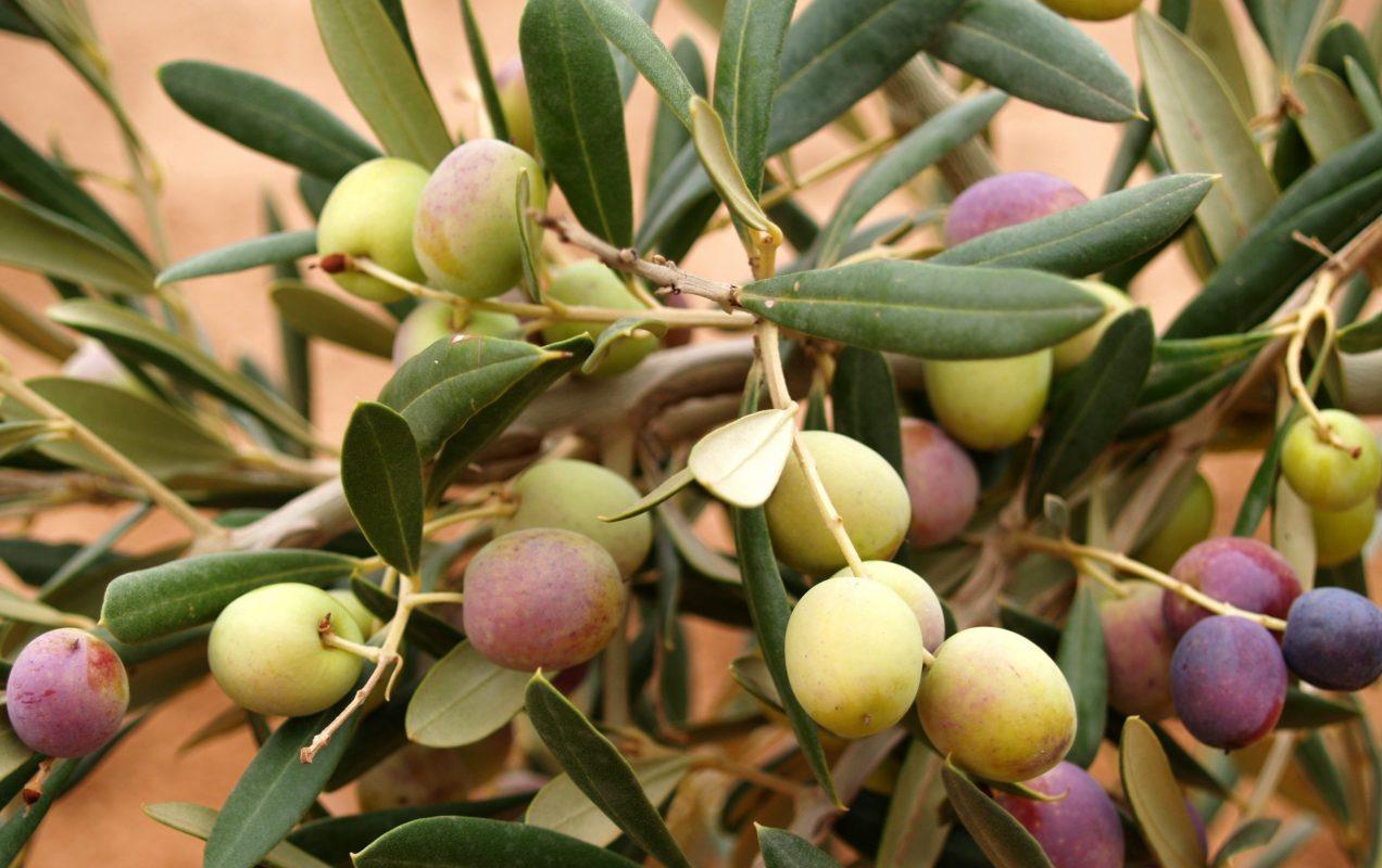 vivero olivo