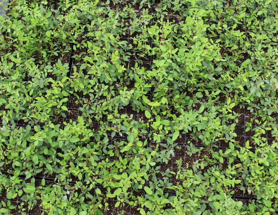 Comprar plantas de pistacho. venta en vivero en Extremadura castilla la mancha