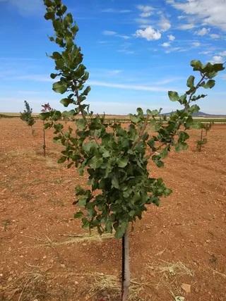 vivero pistacho extremadura castilla la mancha LARNAKA como plantar, poda agua