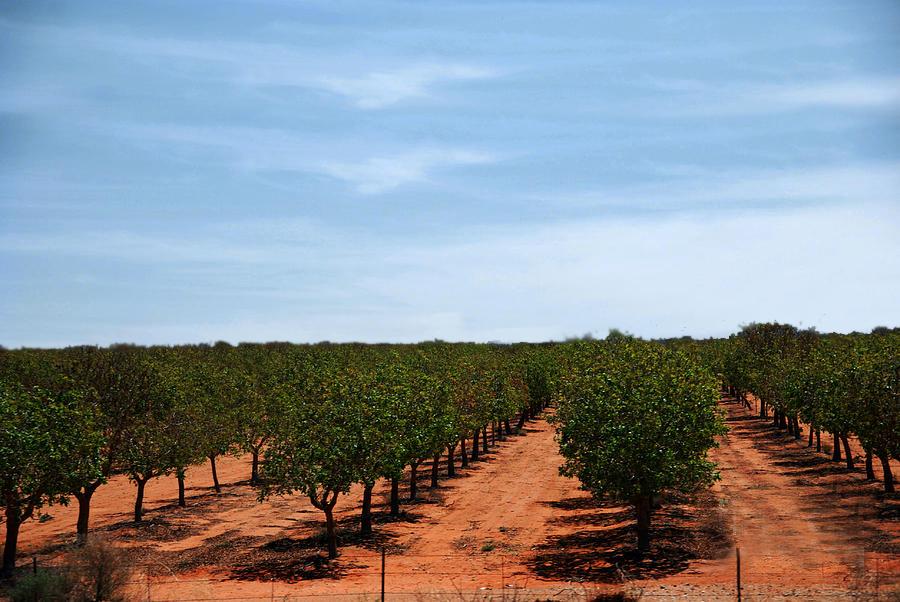 Comprar plantas de pistacho. venta en vivero en Extremadura castilla la mancha (2)