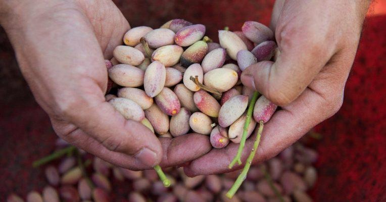 Como y cuando cosechar los pistachos