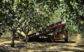 producción de plantas de pistacho